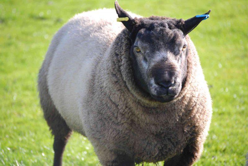 Texel Sheep - New House Farm, Leek